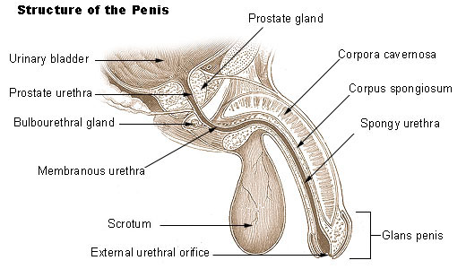 ED Treatment Options To Correct Erectile Dysfunction - Penis Structure